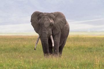 Old big elephant. NgoroNgoro Crater, Tanzania.