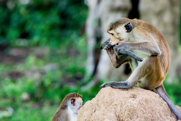 Serious monkey holding stick