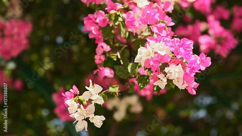bougainvillea flowers bush in the garden stockmaterial. Black Bedroom Furniture Sets. Home Design Ideas