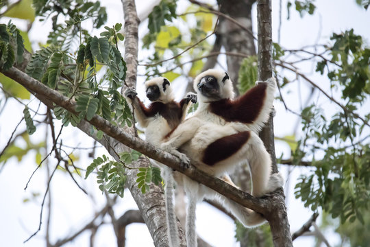 rare lemur Crowned Sifaka, Propithecus Coquerel, a female with a cub sits on a tree, Ankarafantsika Reserve, Madagascar