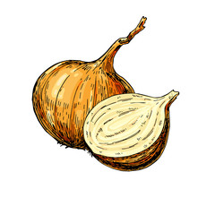 Onion hand drawn vector illustration. Isolated Vegetable Isolated object