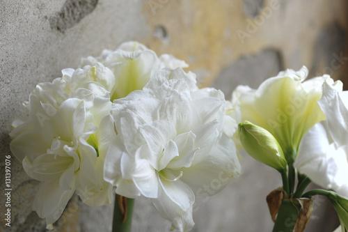 Amaryllis photo libre de droits sur la banque d 39 images for Acheter amaryllis