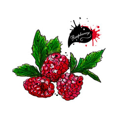 Juicy raspberries on a white background. Watercolor
