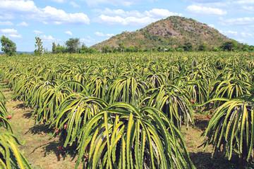 Ripe dragon on plantation in Vietnam