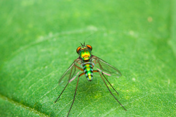Color fly on green leaf rear