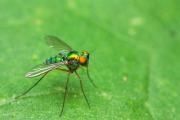 Color fly on green leaf on side
