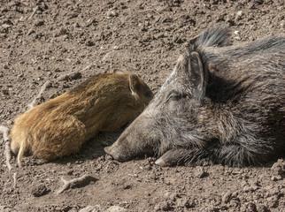 Wildschweinbache mit Frischling