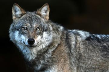Foto auf Leinwand Wolf Lonely Wolf