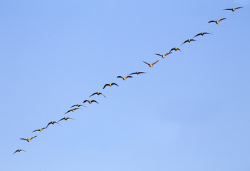 Flock of geese in the sky, Colorado