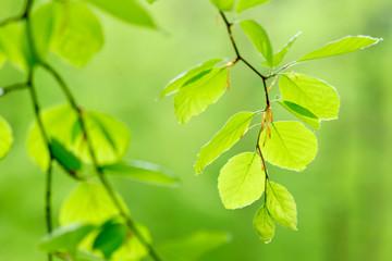 Zarte grüne Blatter einer Rotbuche im zeitigen Frühling, selektive Schärfe