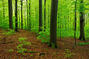 Buchenwald im zeitigen Frühjahr, frisches Grün, mächtige Baumstämme mit Moos bedeckten Wurzeln
