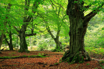 Mighty Old Hornbeam Trees in Green Forest, Moss Covered Roots