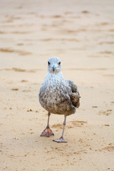 Seagull on the yellow sandy beach close up