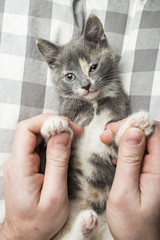 Man is playing with a lovely a kitten holding him by the paws. Close-up.