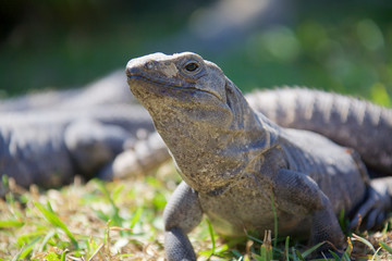 Black spiny-tailed iguana, also called the black ctenosaur is a lizard native to Mexico and Central America. It is the fastest-running species of lizard.