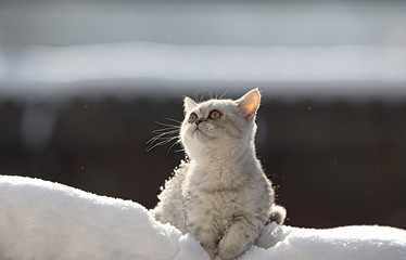 Scottish kitten looking up at snow