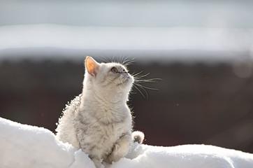 Scottish kitten looking up at snow