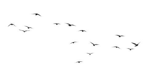 Photo sur cadre textile Oiseau flock of pigeons on a white background