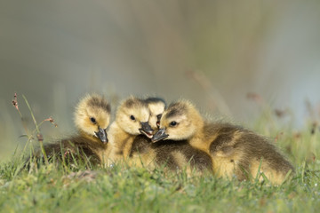 Group of goslings cuddle low angle