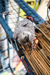 Gray African Parrot