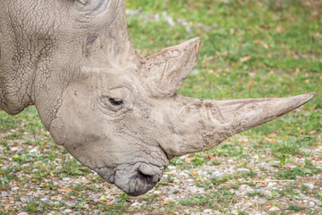 Huge horns of a white rhinoceros