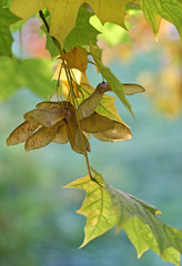 Autumn maple branch with winged seeds