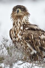 Eagle portrait in winter. Bird of prey in winter.