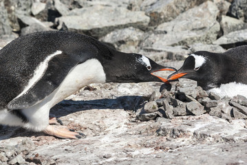 male Gentoo penguin which lays down the stone in the nest where
