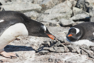 male Gentoo penguin who brought the stone to the nest where the