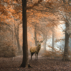 Poster Cerf Beautiful image of red deer stag in foggy Autumn colorful forest