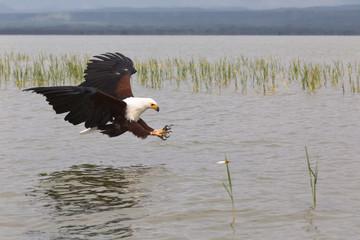 Eagle.  Fish hunter.  Eagle from Lake Baringo. Kenya, Africa