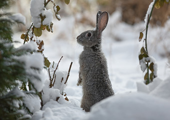 snow rabbit, hare winter