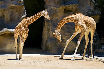 Giraffe Bowing. Two Giraffes one bowing to another at Taronga Park Zoo, Sydney, Australia.