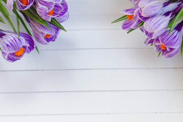 Violet crocus flowers on white wooden planks