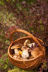 Beautiful Autumn Landscape Wicker Basket With Forest Edible Mushrooms Boletus Edulis, Chanterelle Near Bush Barberry In Garden.