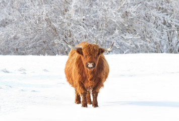 Highland cow standing in a snowy field in winter