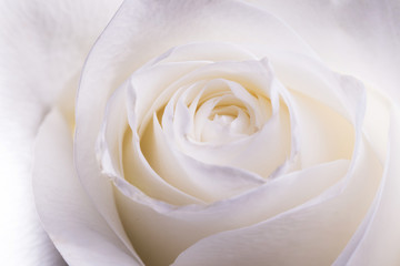 Blooming white rose close up. Natural flower background