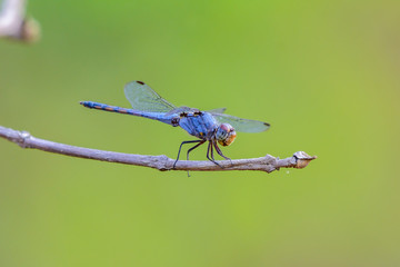 Blue dragonfly on branch in nature.
