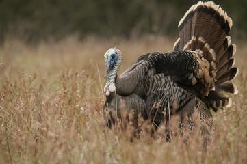 Wild Turkey Courting