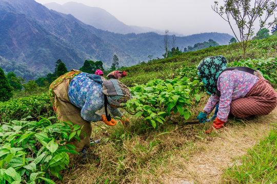 Kurseong (Darjeeling), India