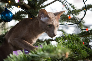 Kitty Christmas tree: Oriental Lilac cat climbing in the tree