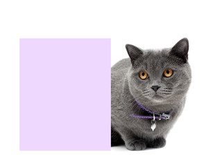 gray cat in a beautiful collar around a banner