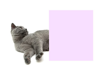 gray kitten lies near a banner on a white background