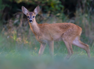 Young Roe deer posing on a clearing