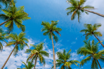 Exotic tropical palm trees at summer, view from bottom up to the sky at sunny day