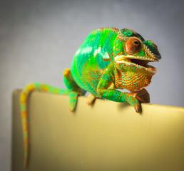 Panther Chameleon closeup