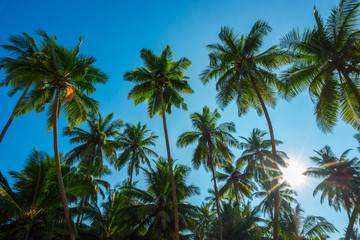 Beautiful exotic tropical palm trees with coconuts at sunny summer day with clear blue sky and shiny sun