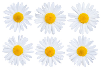 Set of chamomile flowers isolated on white background