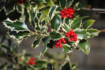Aquifoliaceae - Ilex aquifolium - Agrifoglio