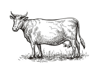 Hand drawn cow. Sketch vector illustration